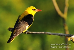 Golden oriole photogrpahy
