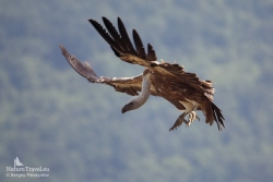 Griffon vulture photography