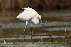Little egret photography
