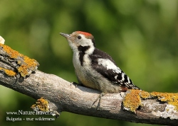 Middle-spotted woodpecker photogrpahy