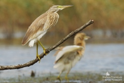 Squacco heron photography