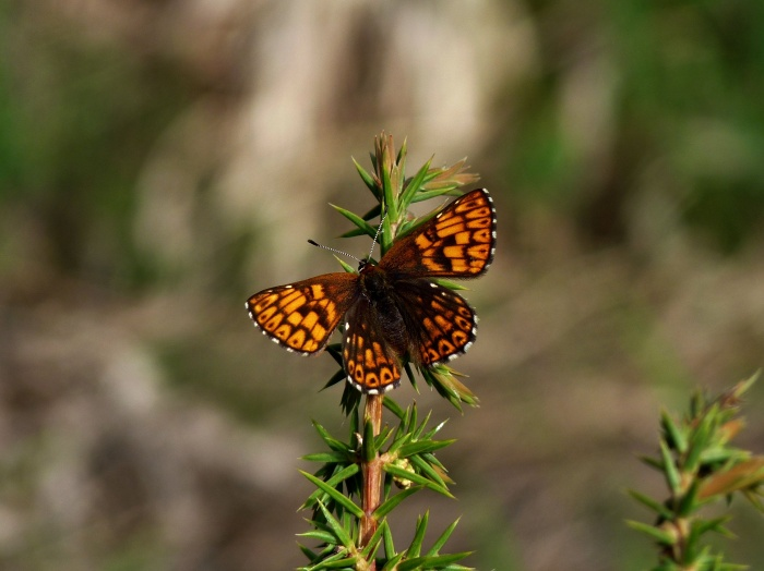Duke of Burgundy Fritillary wildlife photography in Bulgaria