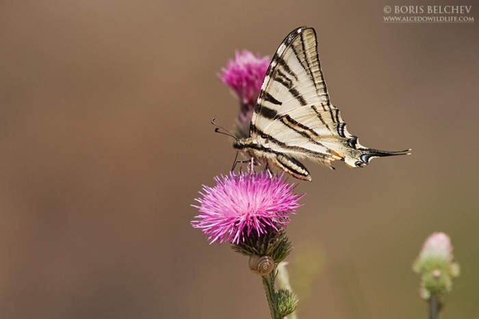 Scarce Swallowtail wildlife photography in Bbulgaria