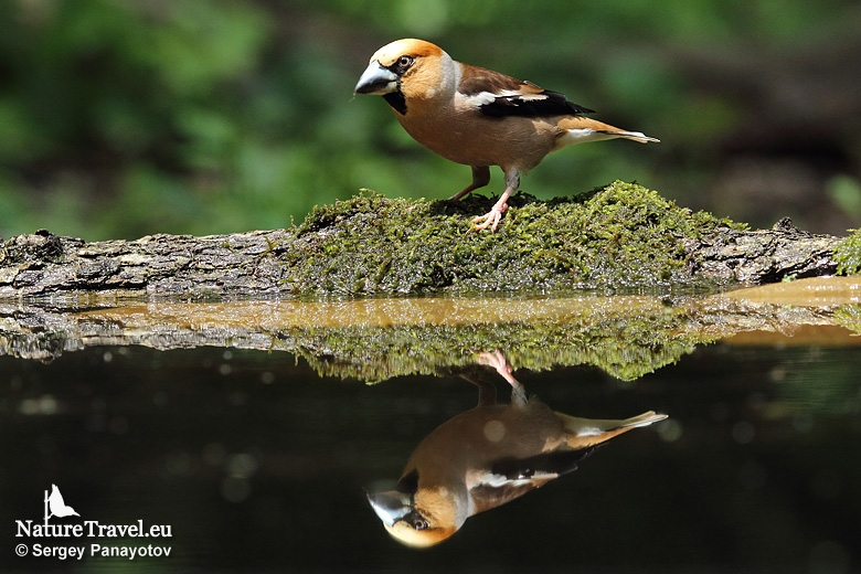 Hawfinch photography in Bulgaria