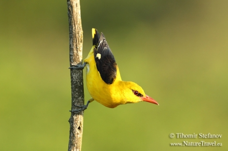 How to photograph Golden orioles