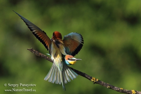 How to photograph Bee-eaters