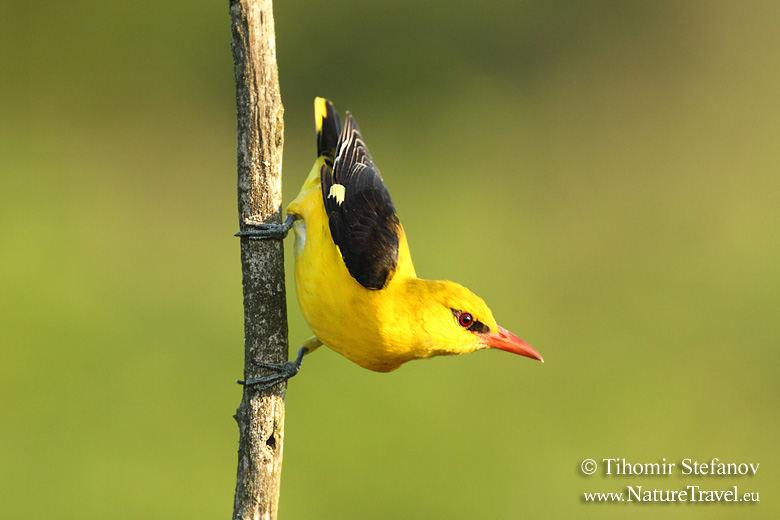 How to photograph Golden oriole
