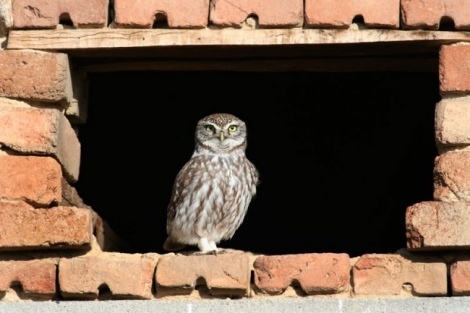 New location for a breeding Little Owl