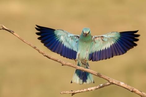 Roller and Bee-eater photography trip results: part 2