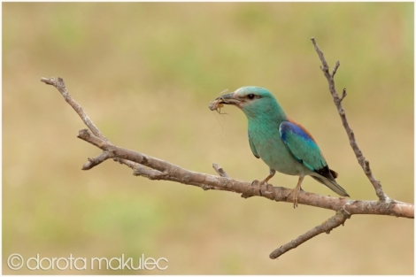 Roller and Bee-eater photography trip results: part 1