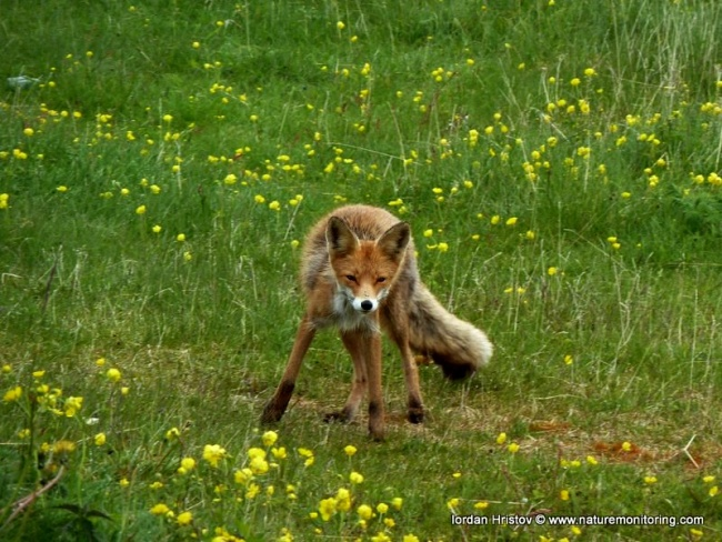 Red fox Bulgaria