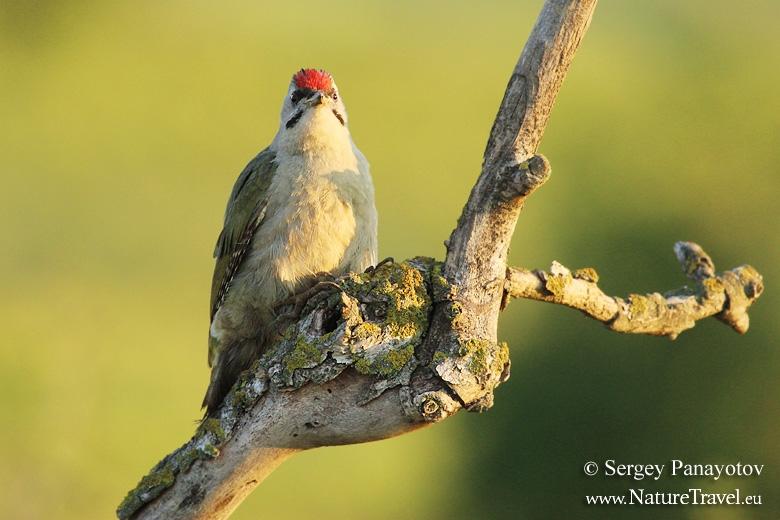 Grey-headed woodpecker photogrpahy