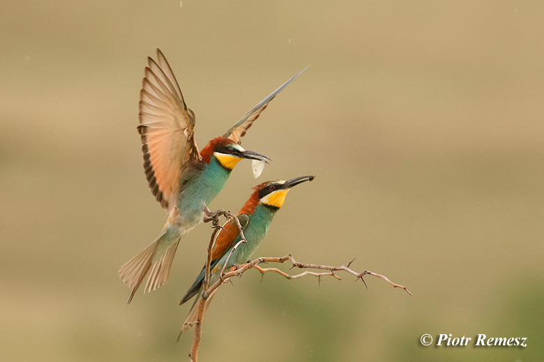 European Bee-eaters wildlife photography in Bulgaria cottage to rent