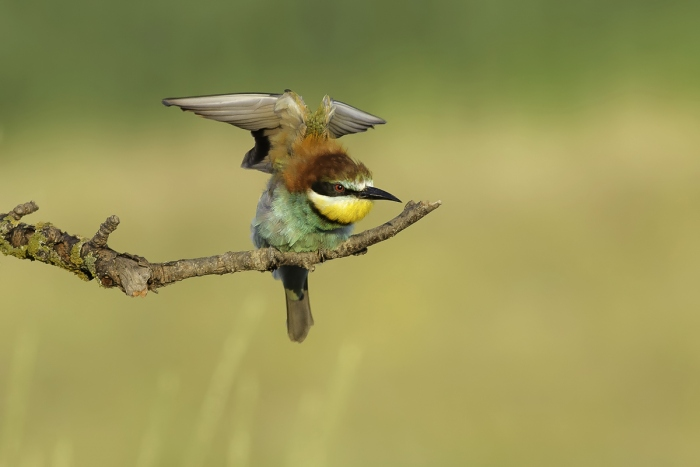 Bee-eater photography in Bulgaria