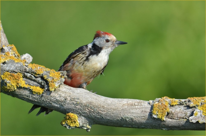 Middle spotted woodpecker photography