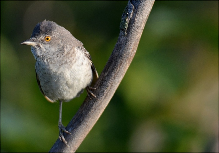 Barred Warbler photography in Bulgaria