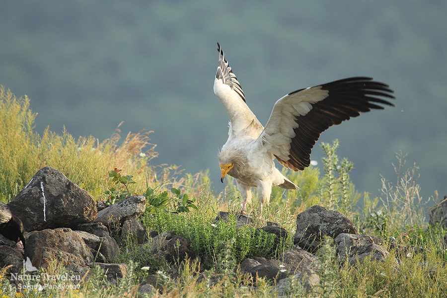 Egyptian vulture photography