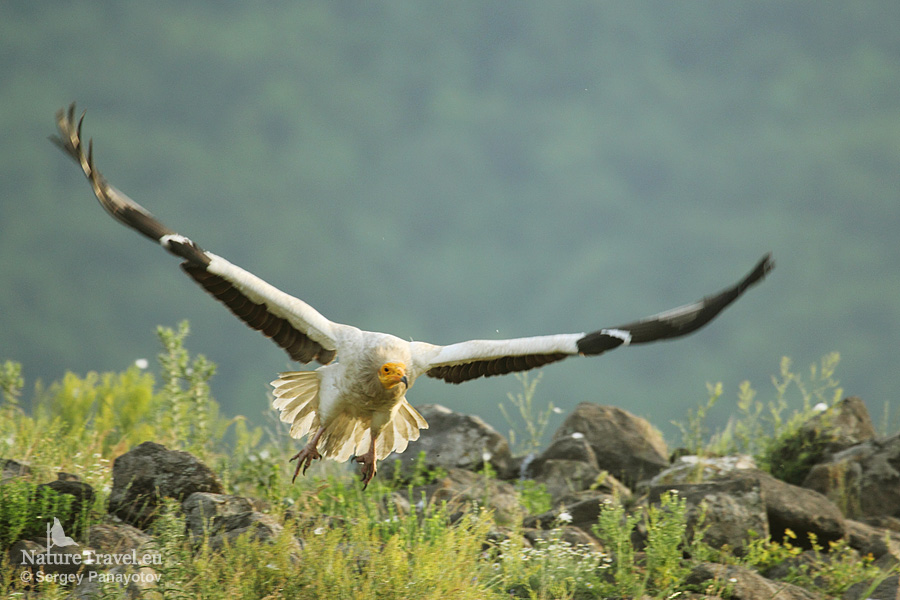 Egyptian vulture photography in Bulgaria