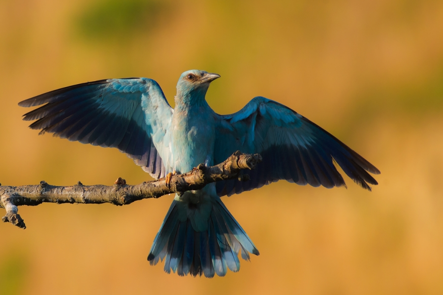 European rollers photography