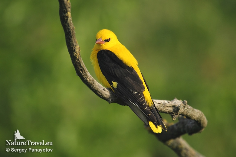 Golden Oriole photography in Bulgaria