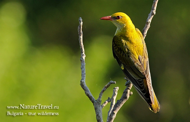 Golden oriole wildlife photography in Bulgaria