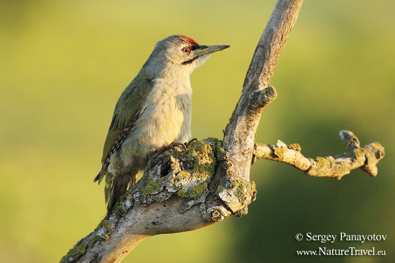 Grey-headed Woodpecker photography in Bulgaria