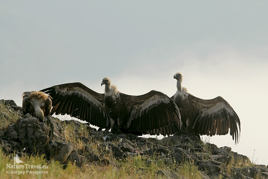 Griffon vulture photography in Bulgaria