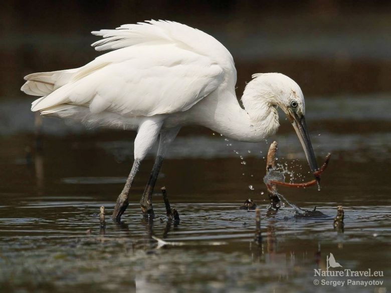 Egrets photography in Bulgaria