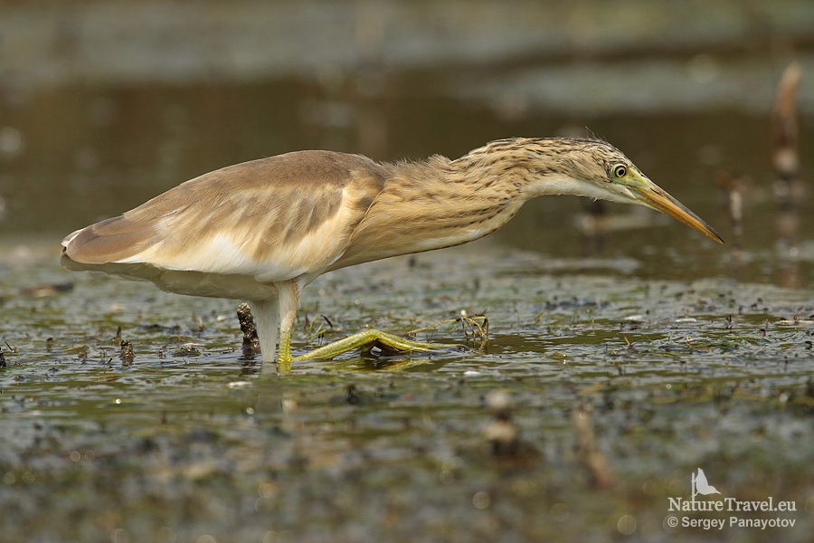 Squacco heron photography in bulgaria