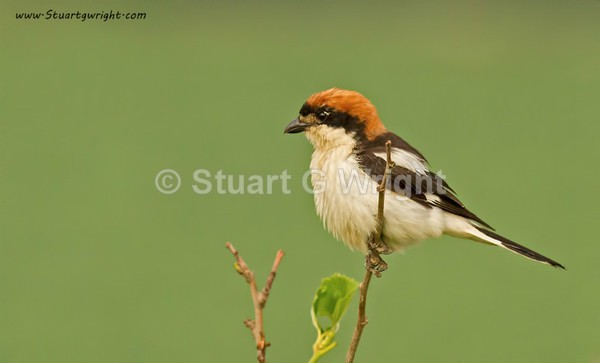 Woodchat shrike photography in Bulgaria