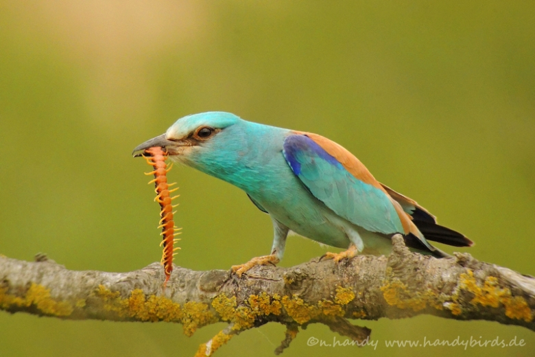 European roller wildlife photography in Bulgaria