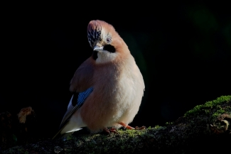 Jay, David Jackson, Forest photo hide 2