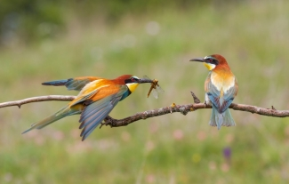 Bee-eaters, MARK WILLIAMS