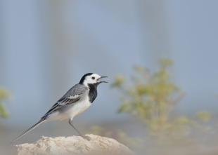 Pied/White Wagtail Hide photography
