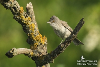 Barred warbler, Photo Tower hide