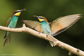 © Mark Walker / England, Bee-eaters / © Mark Walker