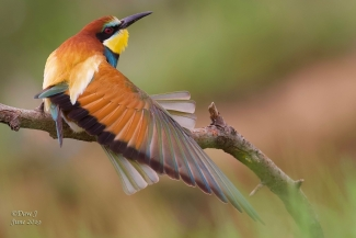 Bee-eaters, David Jackson, Bee-eater hide 2
