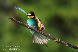 Bee-eaters, Bee-eater photography