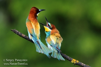 Bee-eater photography, Bee-eater hide
