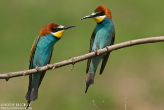 Bee-eaters, European Bee-eater  photography, Author: Boris Belchev © 2012