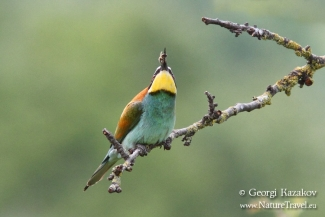 Bee-eater photography, Roller hide