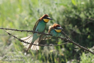 Bee-eaters, Bee-eater photography in Bulgaria