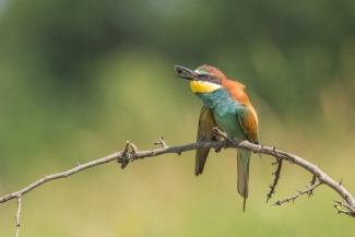 Bee-eater photography / © Dominik Chrzanowski, Bee-eater hide 2