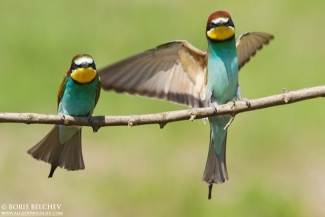 European Bee-eater  photography, Author: Boris Belchev © 2012, Mobile hides