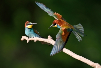 Bee-eaters, Bee-eaters (c) Piotr Welcz