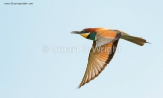 © Stuart Wright / England, Bee-eaters / © Stuart Wright