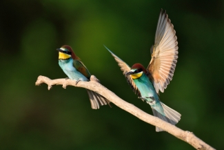 Bee-eaters (c) Piotr Welcz