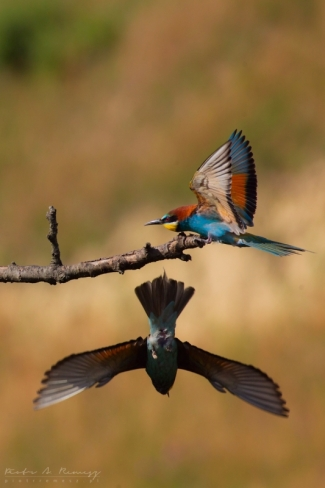 Bee-eaters © Piotr A. Remesz / piotrremesz.pl, Roller hide