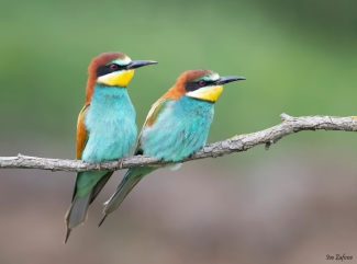 Bee-eater photography (© Ivo Zafirov), Bee-eater and Hoopoe hide