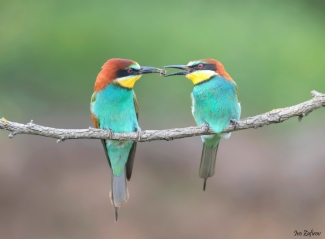 Bee-eater photography (© Ivo Zafirov)